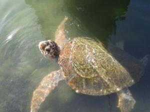 Taking a breath in Fethiye, in this particular case it's a caretta caretta doing that.